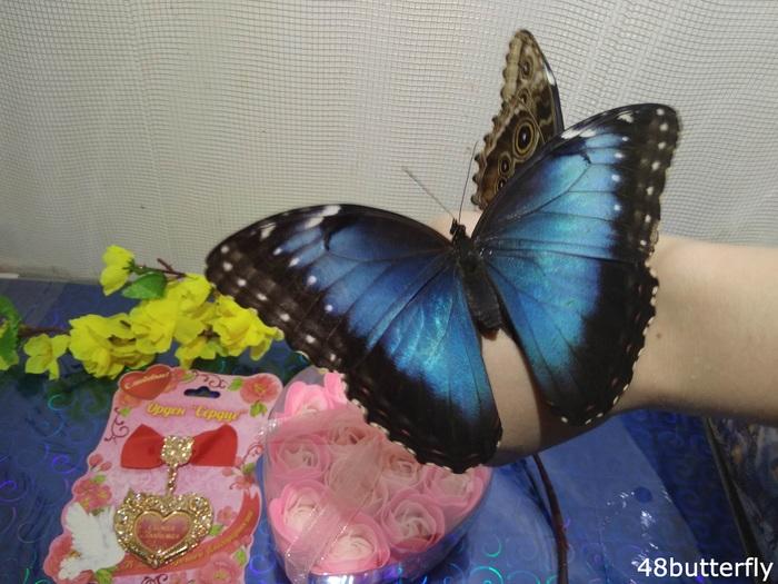 Выведение тропических бабочек дома Энтомология, Бабочка, Хобби, Увлечение, Своими руками, Природа, Длиннопост