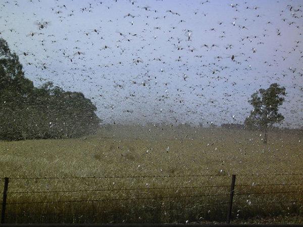 7 феноменальных нашествий насекомых XXI века Гусеница, Кузнечик, Насекомые, Жуки, Муравьи, Цикада, Оса, Длиннопост
