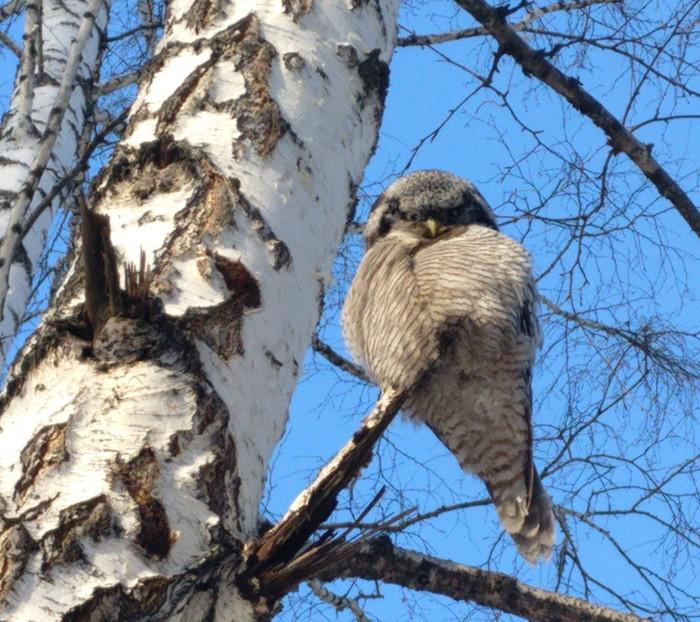 Неожиданный гость Что за птица?, Сова, Фотография