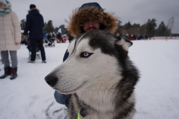 Решетихинская сказка 2019 Собака, Ездовой спорт, Решетихинская сказка, Хаски, Длиннопост, Фотография