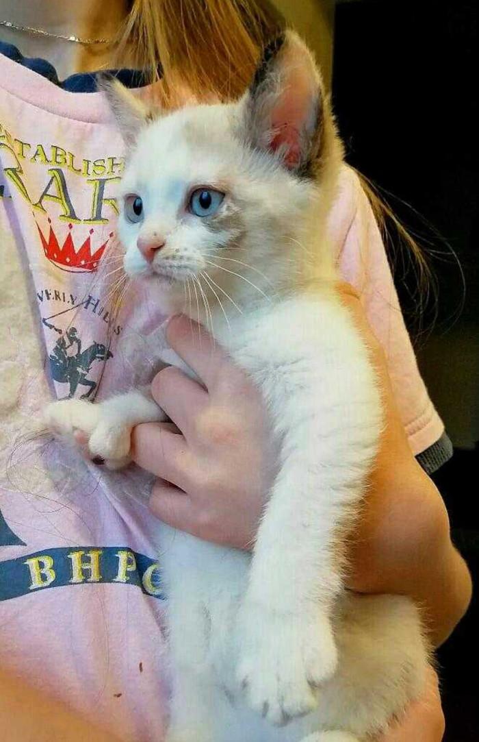 Кот с человеческими руками Кот, Милота, Тайская кошка, Полидактилия, Видео, Звук, Длиннопост
