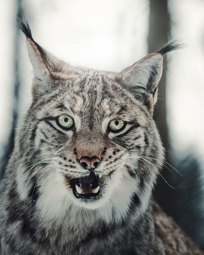 Wild Cat Фотография, Большие кошки, Длиннопост, Рысь, Животные