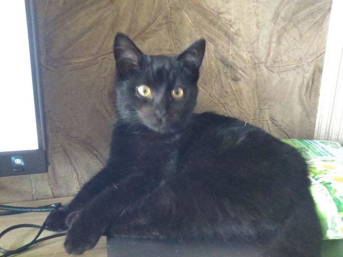Помогите пристроить котика в Краснодаре! Кот, В добрые руки, Краснодар, Черный кот, Длиннопост, Без рейтинга
