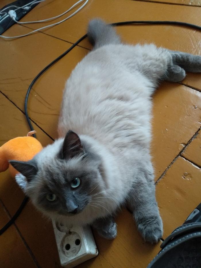Слоним. Пропала кошка. Слоним, Беларусь, Кот, Потерялся кот, Потеряшка, Длиннопост, Помогите найти, Без рейтинга, Помощь животным