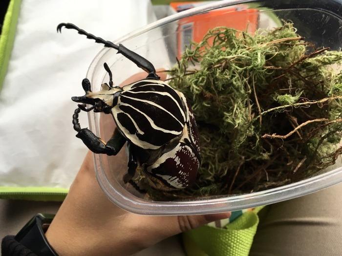 Мой друг: Гигантский жук. R.I.P. Животные, Жуки, Голиаф, Насекомые, Личинка, Длиннопост