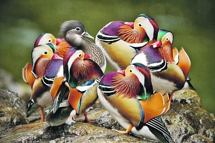 Всех очаровала Фотография, Птицы, Утка мандаринка
