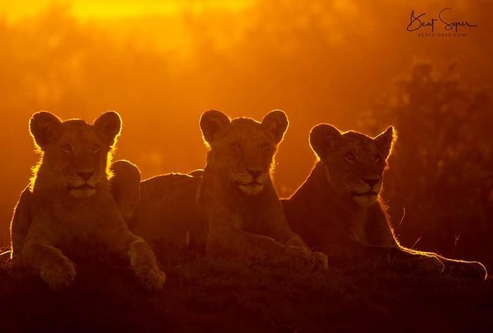 Утро Фотография, Животные, Лев