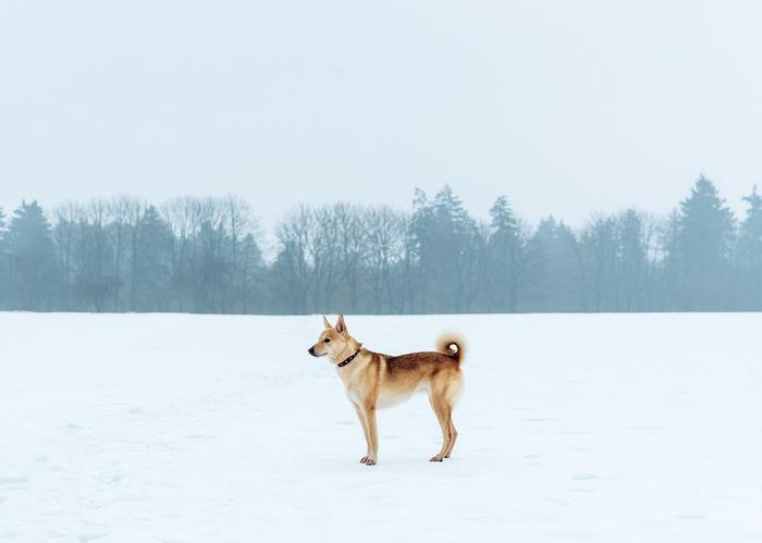 День, проведённый с собакой, не считается потерянным. Длиннопост, Фотография, Собака, Лайка, Природа, Беларусь, Могилев, Зима
