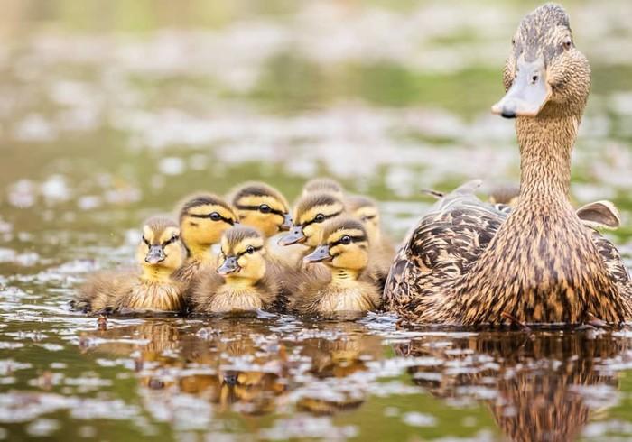 Мамина гордость Фотография, Птицы, Утка, Утята, Милота