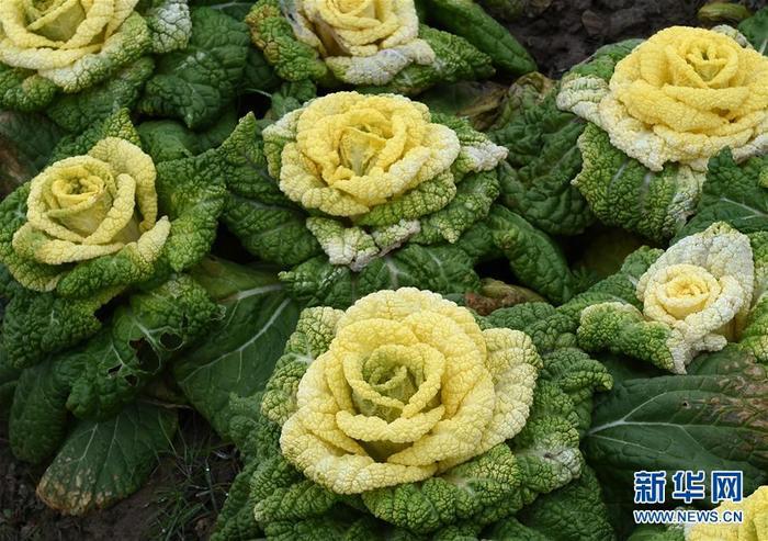 Капуста в форме бутонов розы из Китая! Китай, Капуста, Фотография, Длиннопост