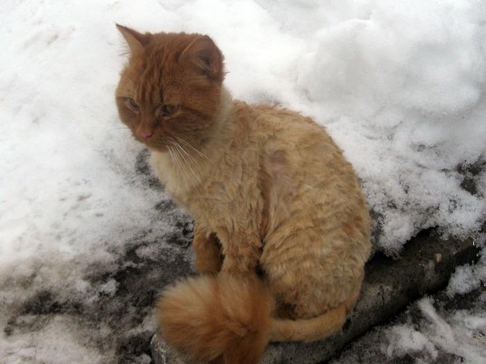 И львы с тех пор обижены... Кот, Стрижка кота, Соседский котик, Рыжий