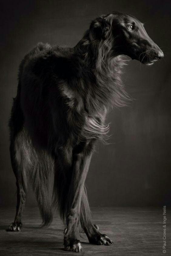 Грации Собака, Борзая, Длиннопост