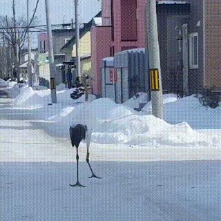Журавли прогуливаются по японскому посёлку. Журавли, Птицы, Япония, Видео, Гифка
