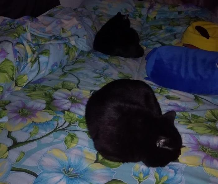 Плюшевые котики: часть 2 Кот, Британцы, Британская короткошерстная, Братья, Домашние животные, Длиннопост