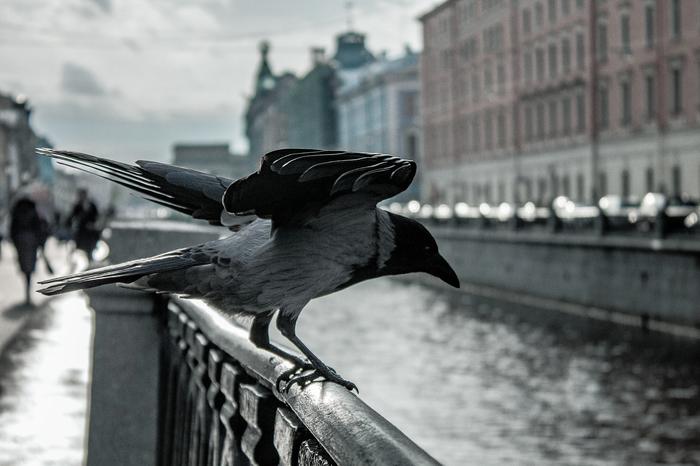 Пернатые) Санкт-Петербург, Начинающий фотограф, Canon 1100d, Sony a350, Фотография, Птицы, Фотограф, Длиннопост