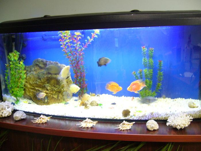 Аквариум. Аквариумные рыбки красный попугай. Аквариум, Аквариумные рыбки, Аквариумистика, Цихлиды, Видео