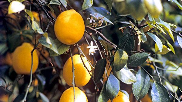 Журналистка Forbesназвали лимоны предметом роскоши для россиян. Лимон, Журналистика, Россия, Достаток, Forbes, Престиж