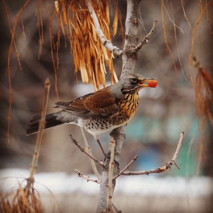 Помогите опознать птицу Птицы, Olympus, Что за птица?, Дрозд, Дрозд-Рябинник