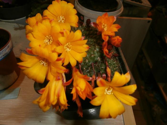 Цветение ребуций Ребуции, Кактус, Выращивание, Цветение, Длиннопост