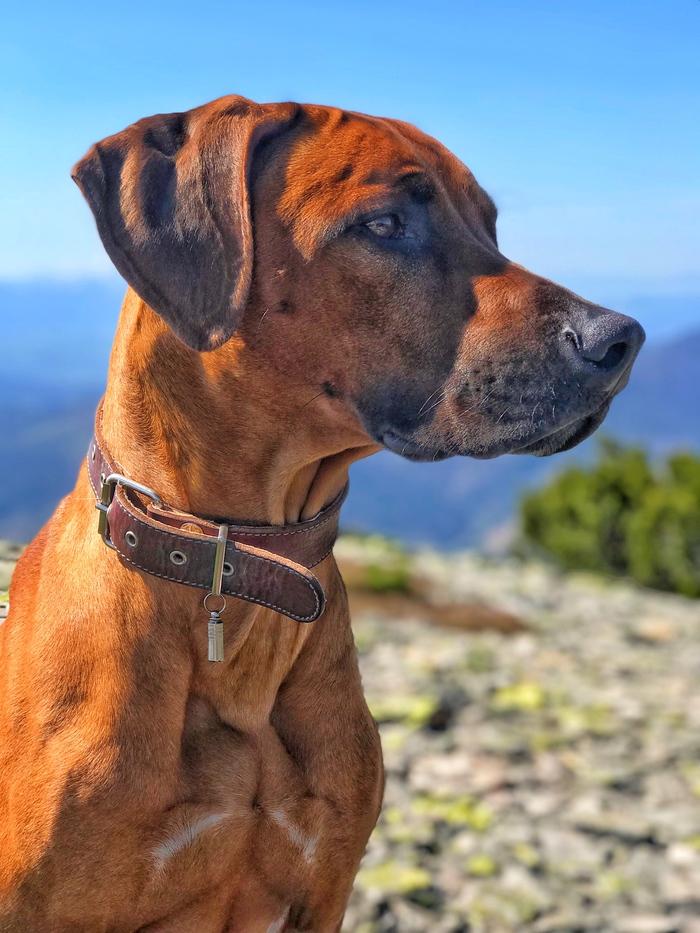 Мой верный друг на вершине горы в Карпатах Собака, Родезийский риджбек, Друг