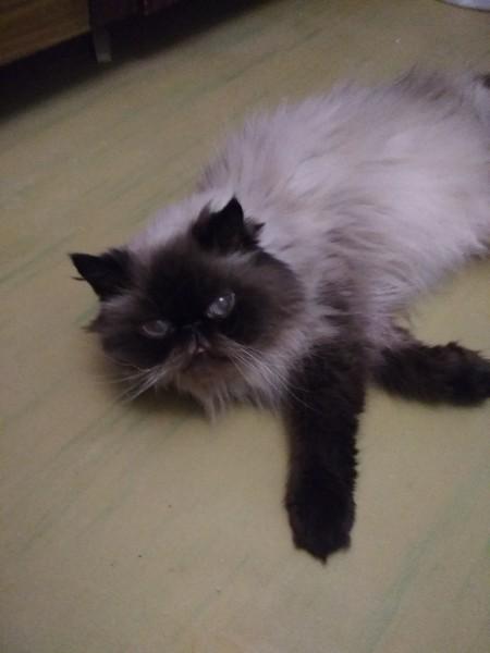 Срочно отдам породистую кошечку в хорошие руки! Минск, Кот, Помощь, Без рейтинга, В добрые руки