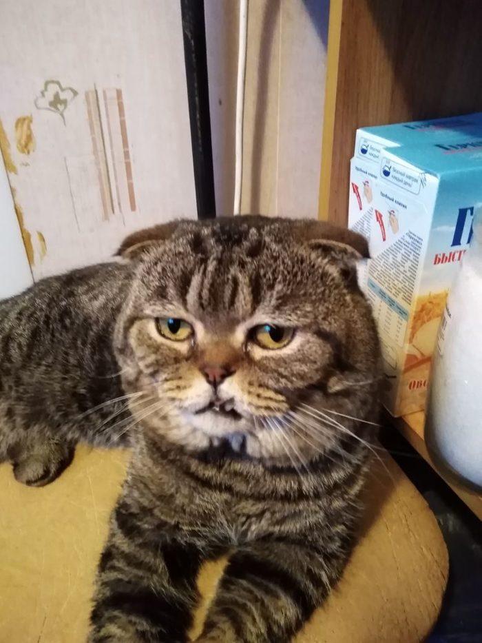 Вислоухий саблезуб)) Кот, Домашний любимец
