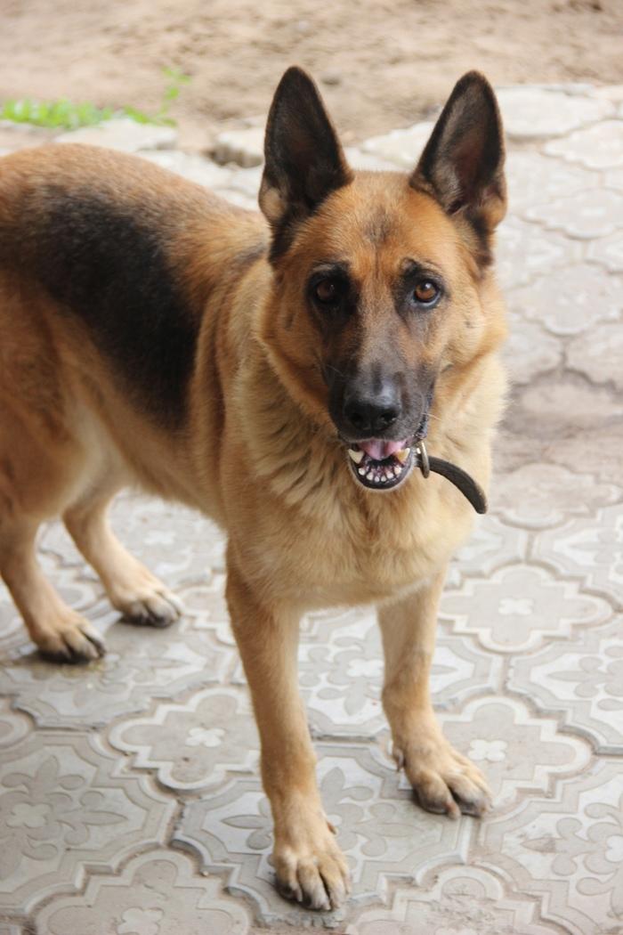 Пропала собака. Саратов, 7-8 дачная, Поливановка. [UPD: Найдена!] Саратов, Пропала собака, Потеряшка, Помощь, Длиннопост, Собака, Помогите найти, Без рейтинга