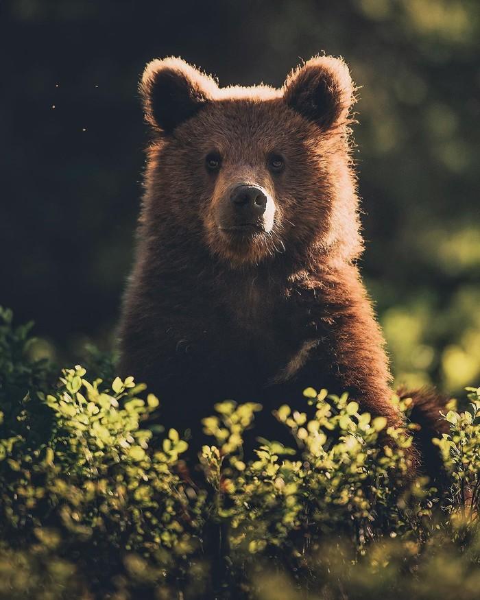 Четыре комарика и медведь Фотография, Животные, Медведь, Комары