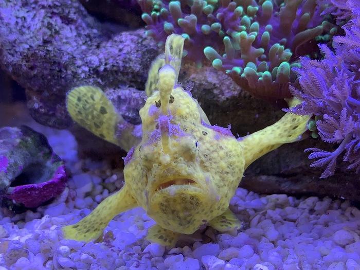 Antennarius pictus Аквариум, Рыба