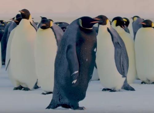 «Самый редкий пингвин в мире» был снят на видео Пингвины, Черный, Антарктика, Видео