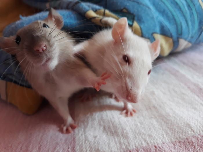 Хочу целоваться Крыса, Декоративные крысы, Животные, Домашние животные, Милота, Питомец, Фотография, Длиннопост