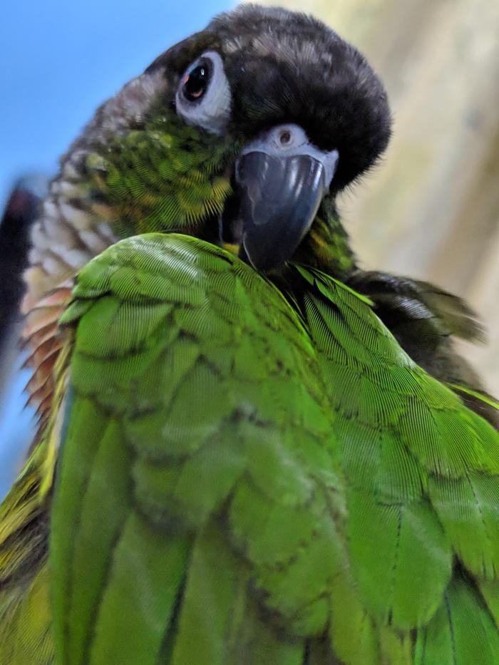 Пиррура-чистюля! Пиррура, Попугай, Милота, Видео, Длиннопост, Фотография