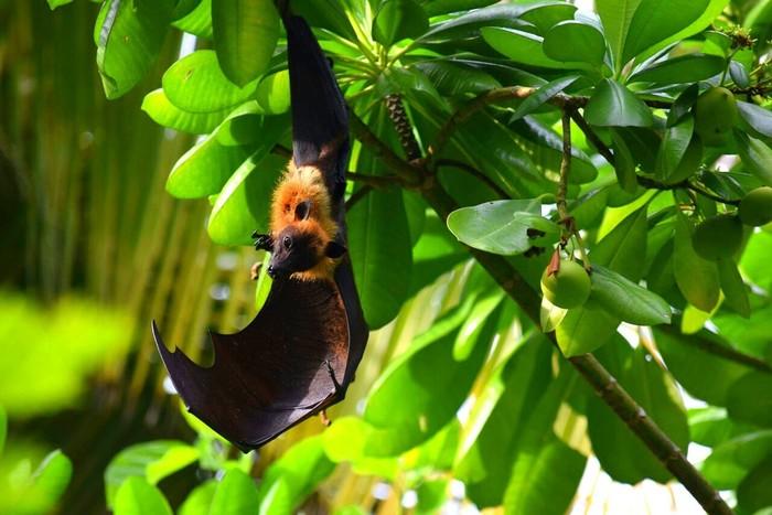 Маленькая Тьма Крыланы, Милота, Животные, Фотография, Природа, Мальдивы, Крылатая лисица