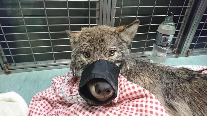 Интересно, кто офигел больше - волк или ветеринары? Волк, Собака, Перепутали