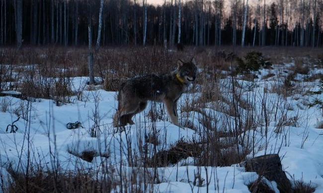 Спасенный из ледяной реки волк вернулся в лес Волк, Спасение, 9GAG, Доброта, Поступок, Длиннопост