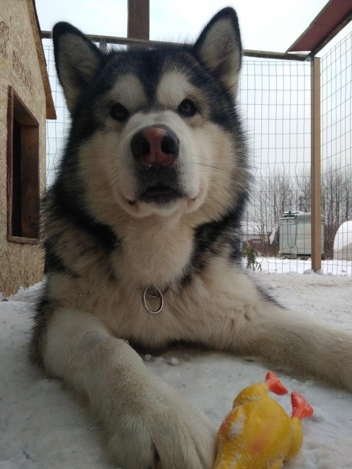 Что делать, если собачка выросла злой? Собака, Дрессировка, Аляскинский маламут, Длиннопост