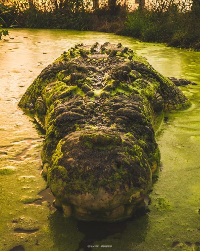"""""""Здравствуйте..."""" Фотография, Крокодил, Австралия, Животные, Дратути, Портрет"""
