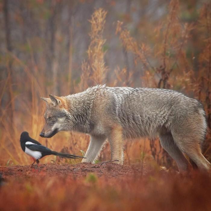 Местные сплетни Фотография, Животные, Волк, Сорока, Лес, Осень