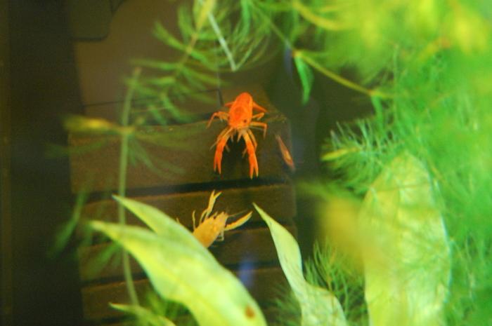 Рак сразу после линьки (светлый) рядом с перелинявшим несколько дней назад и креветкой .(случайное фото) Рак, Креветки, Аква