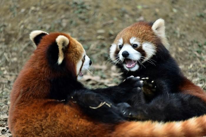Малые панды Красная панда, Животные, Фотография