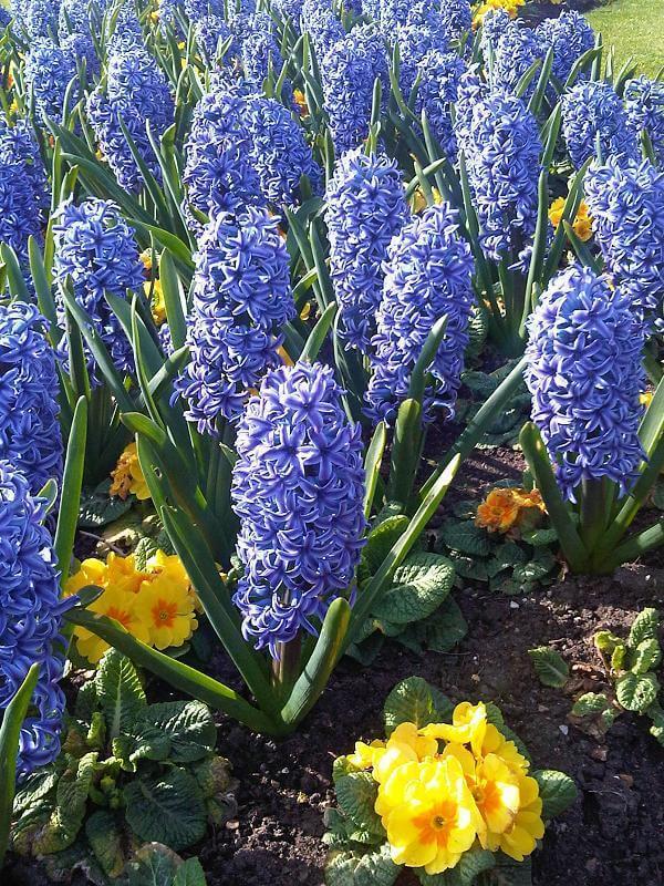 Гиацинт в горшке - уход, цветение, размножение Гиацинты, Комнатные растения, Домашние цветы, Длиннопост