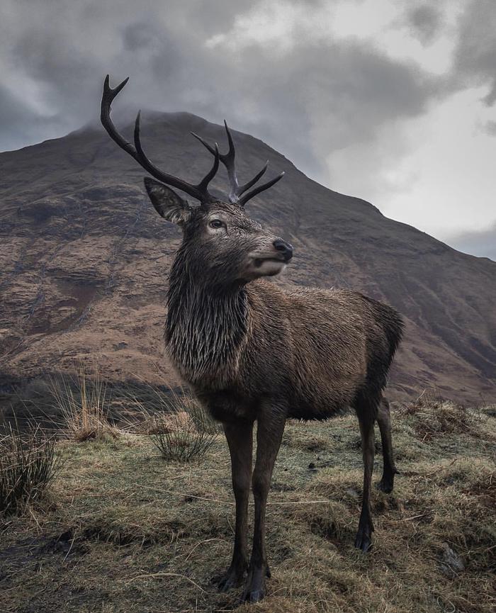 На просторах Шотландии Шотландия, Олень, Природа