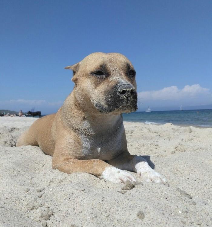 Собака-подозревака. Амстафф, Собака, Черное море, Песок, Лето, Домашние животные, Фотография