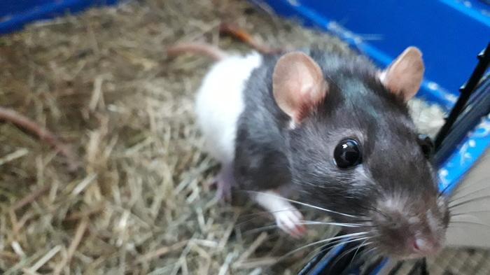 Элис и Клео Крыса, Декоративные крысы, Домашние животные, Длиннопост