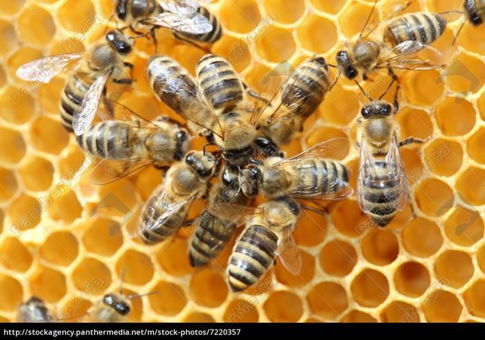 Древний «танец пчел» умирает из-за людей Пчелы, Танец, Биологи