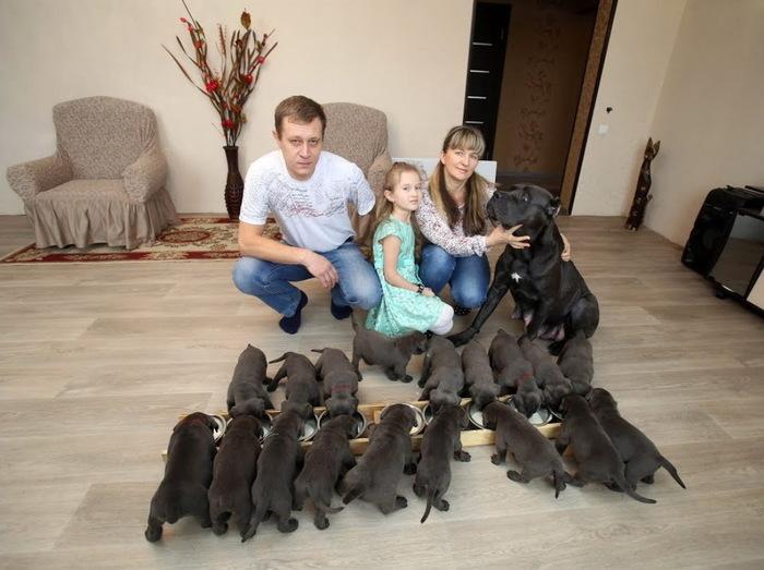 Кане-корсо родила 19 щенков Собака, Щенки, Рекорд, Длиннопост