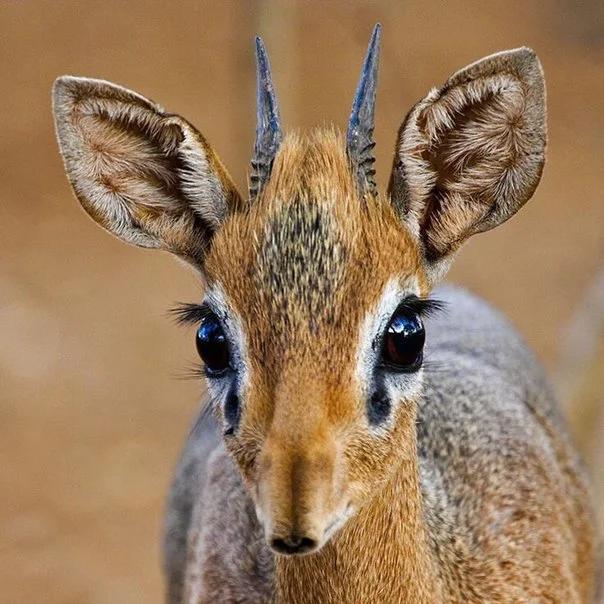 Маленькая антилопа дикдик