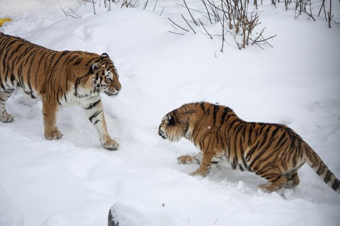 Новая ячейка тигрино-амурского общества Челябинский зоопарк, Амурский тигр, Тигр, Животные, Большие кошки, Длиннопост, Фотография