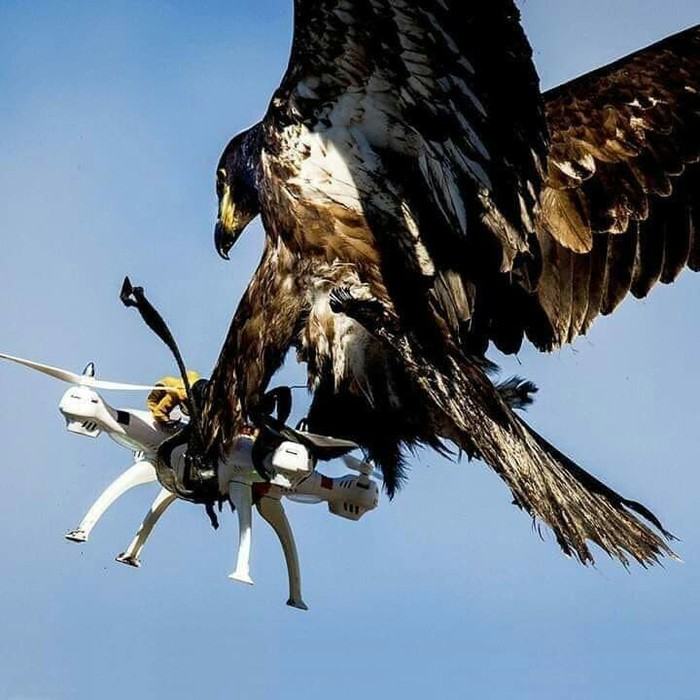 Смертельная схватка Орел, Квадрокоптер, Небо, Схватка, Битва, Птицы, Техника