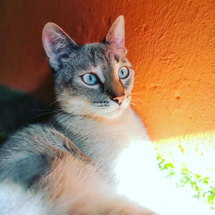 Голубоглазка